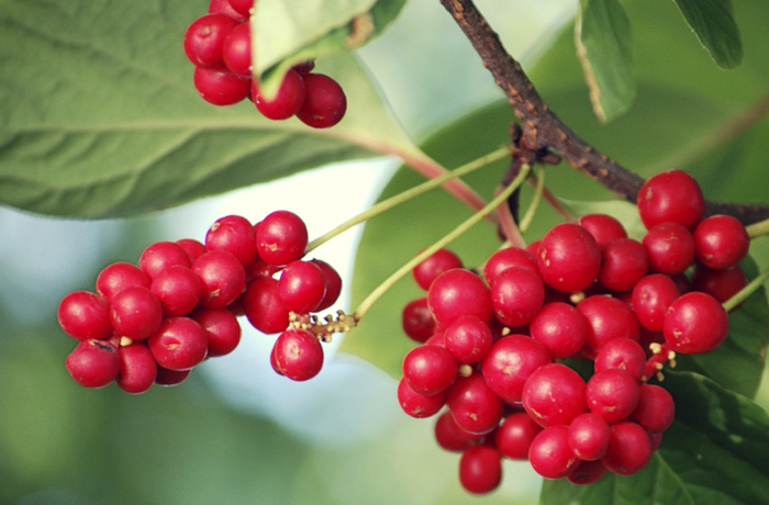 Schizandra for Glowing Skin & Increased Energy